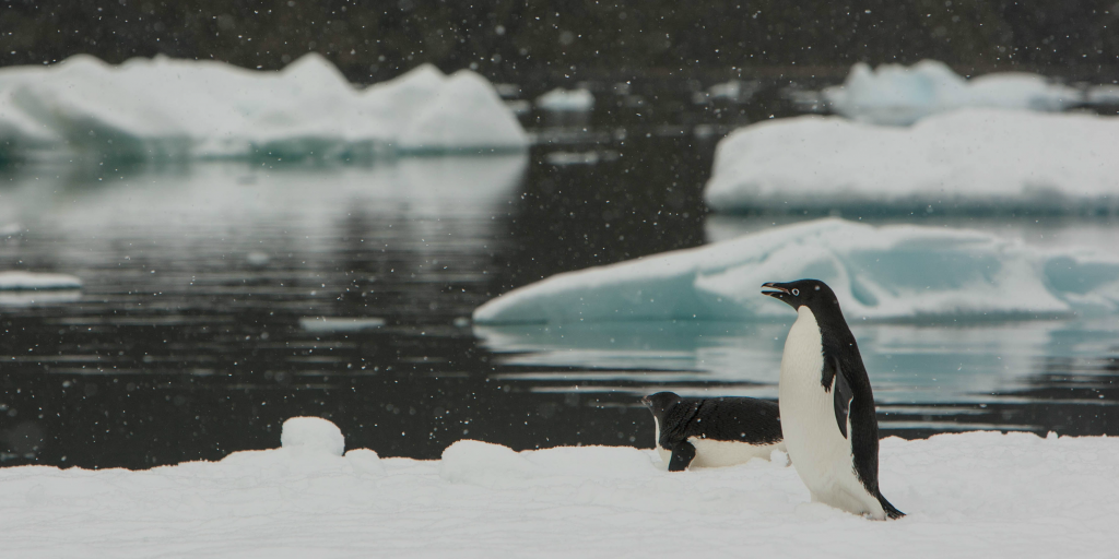 Adélie penguins are affected by climate change.