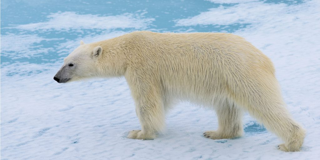 polar bears are affected by climate change