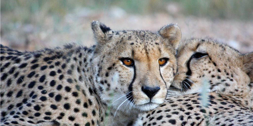 Two cheetahs resting together in the wild.