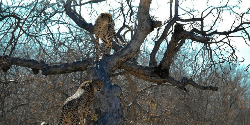 cheetahs in tree