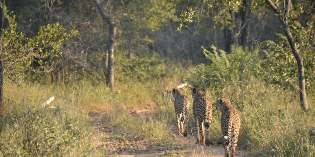 pictures for cheetahs, cheetah males, cheetah coalition