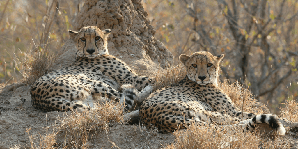 cheetah images, group or coalition of two cheetahs, cheetah resting in savannah
