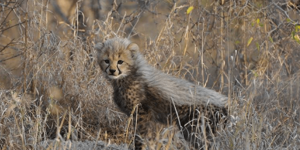 pictures of baby cheetahs, cheetah cub, cheetah mohawk