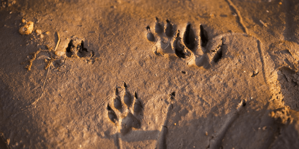 cheetah paw prints