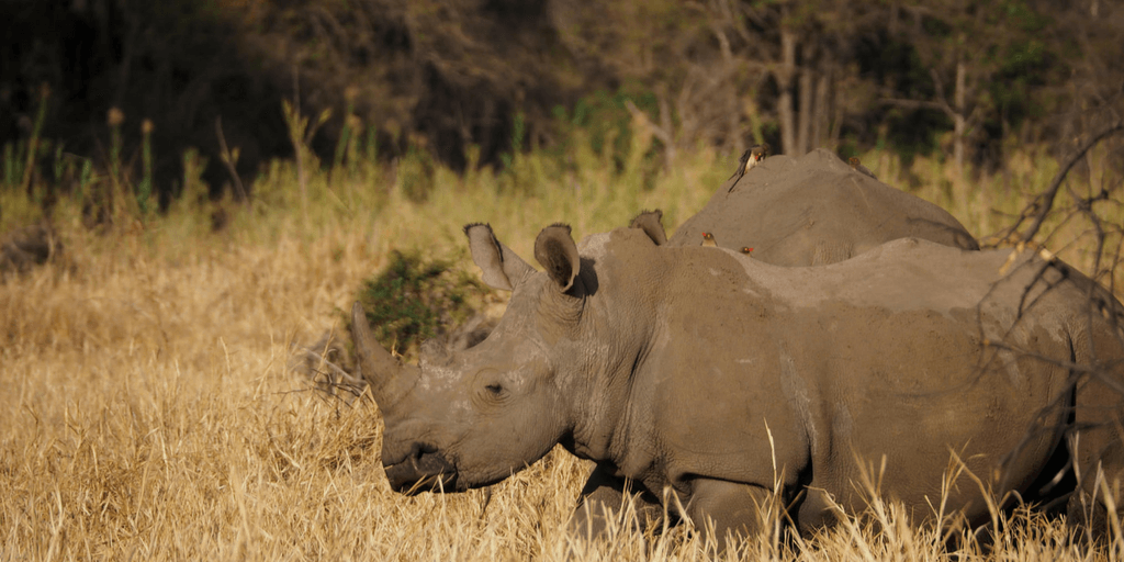 Anti-rhino Poaching Awareness In South Africa
