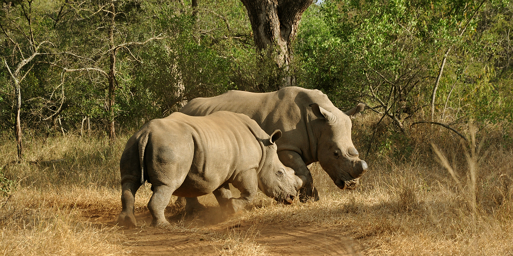 Support rhino conservation with the International Rhino Foundation