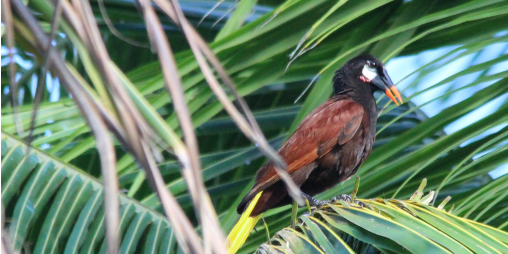 A bird perched in a tree spotted during the GVI bird research project in Costa Rica.