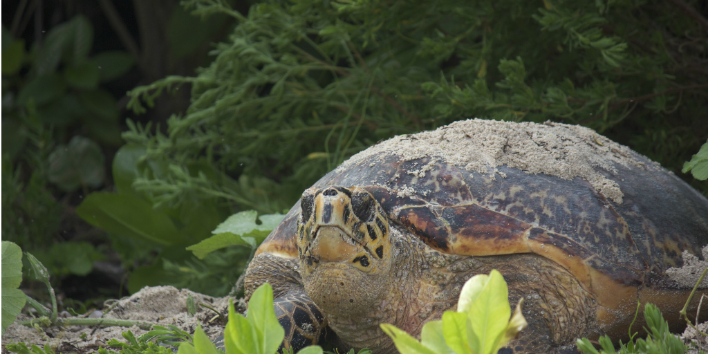A giant tortoise standing amongst the flora in Curieuse, Seychelles