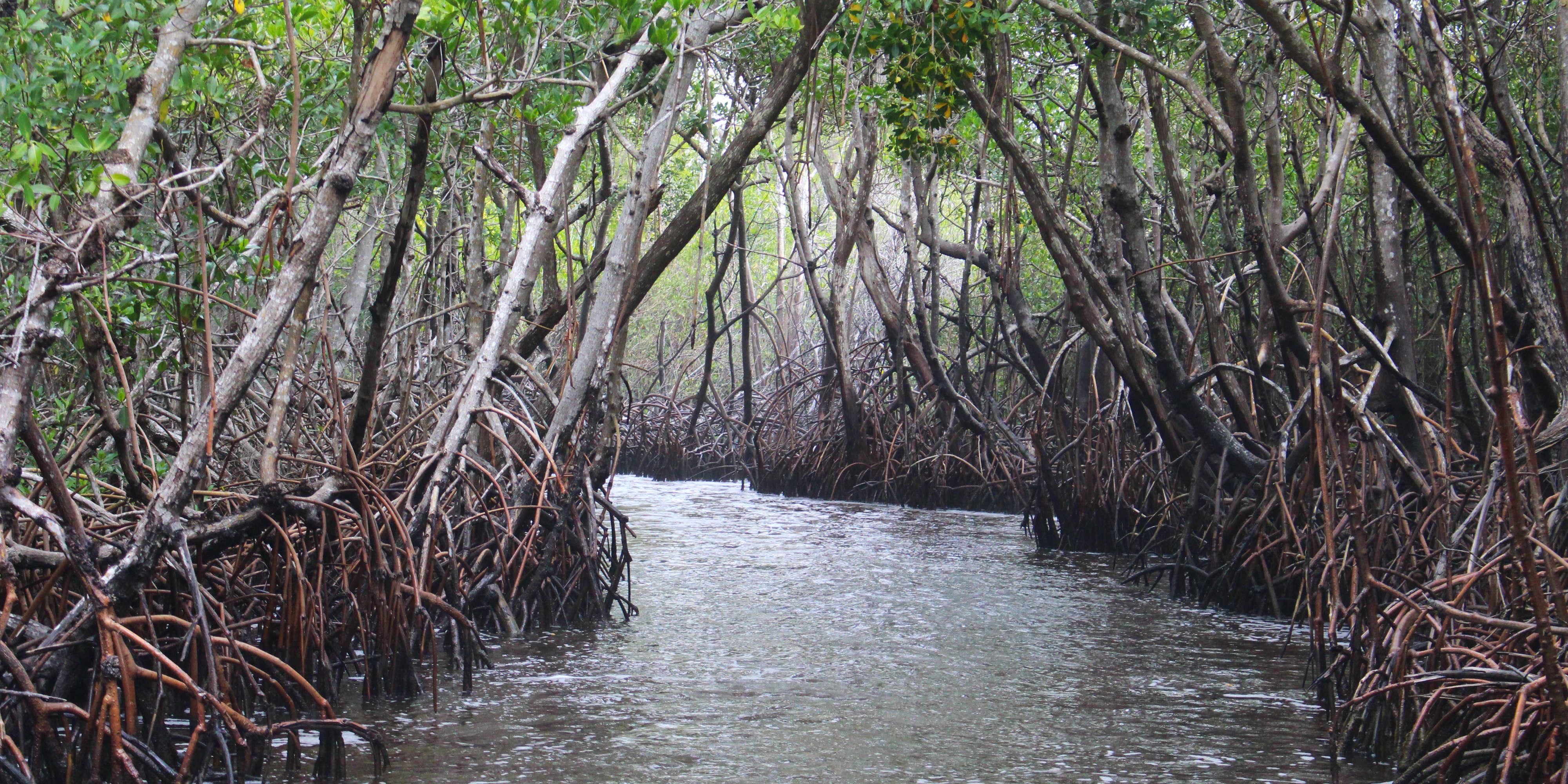 mangrove ecosystem