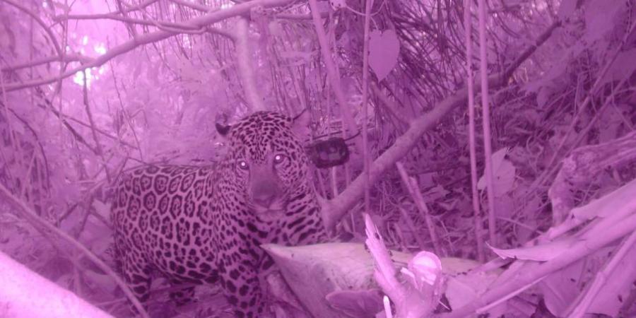 GVI paricipants and partners record the elusive jaguar on camera traps. This wildlife conservation program maps out jaguar behaviour in Tortuguero National Park.