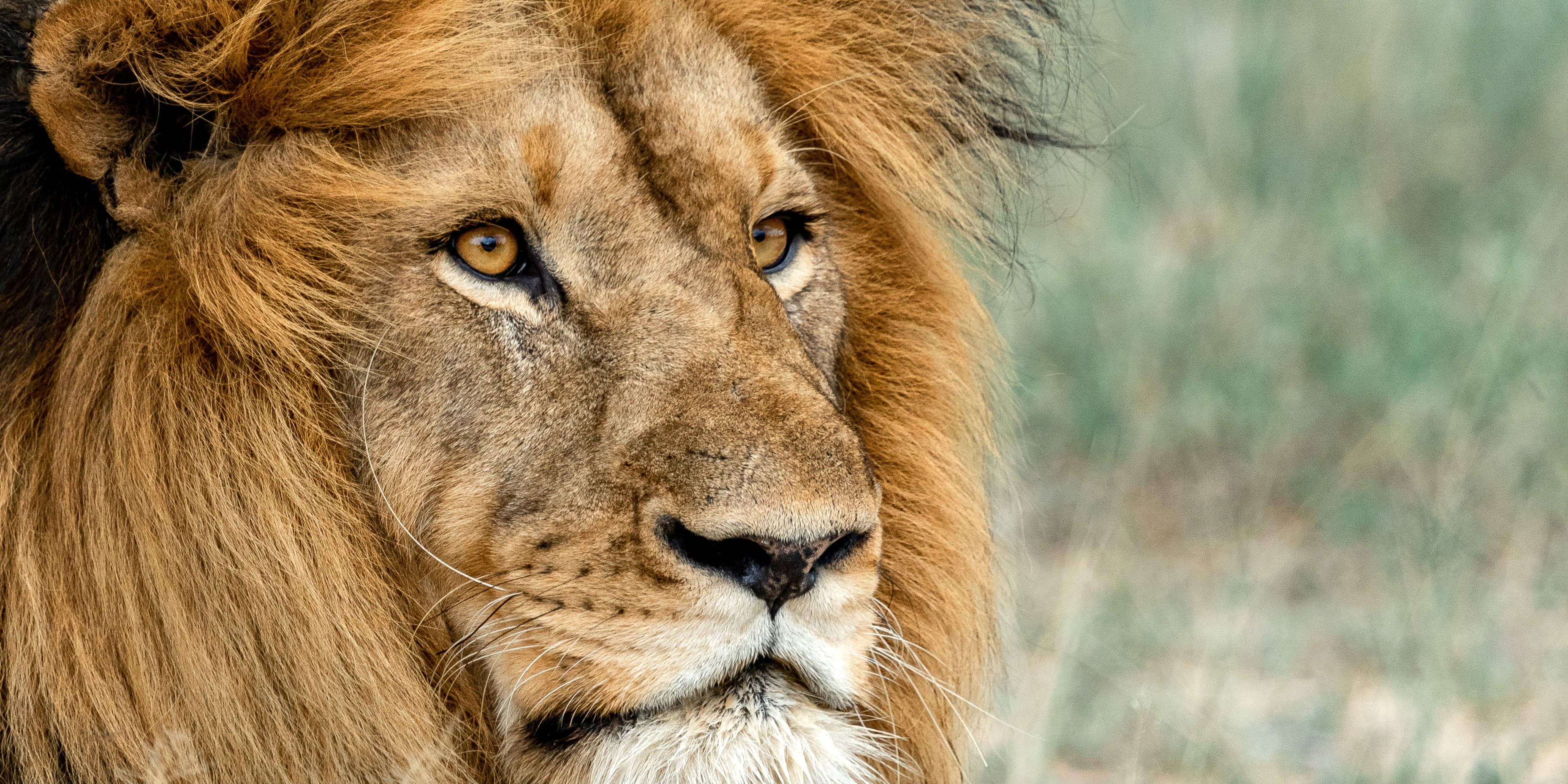 This close up image of a male lion was captured by a GVI participant while volunteering in Africa with animals.