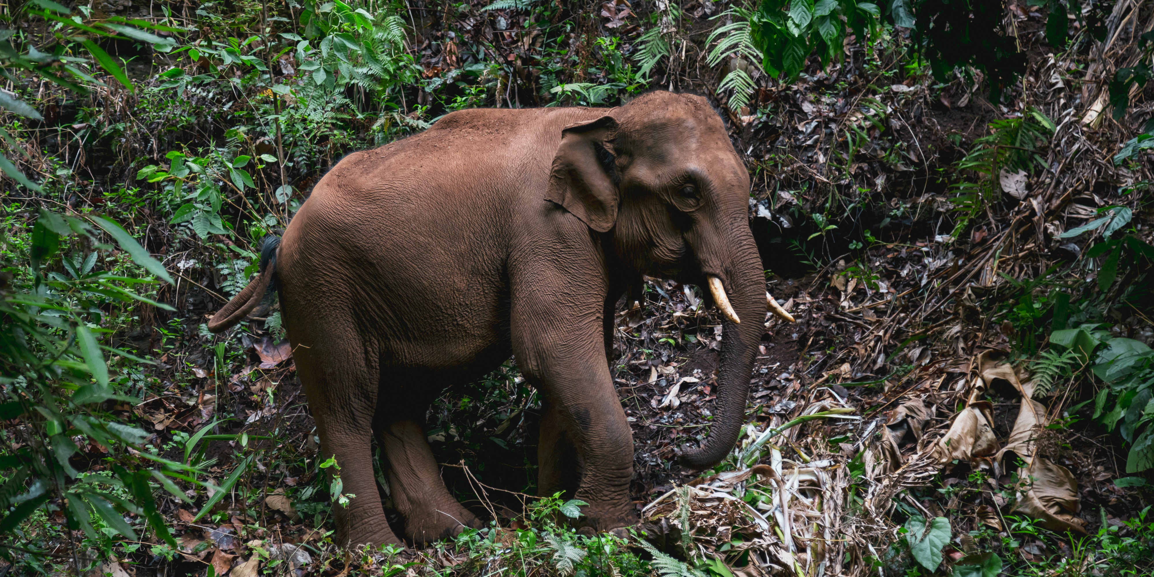 An elephant walks around its forested home in Chiang Mai. This eco-tourism model could be used to change elephant tourism in Thailand for the better.