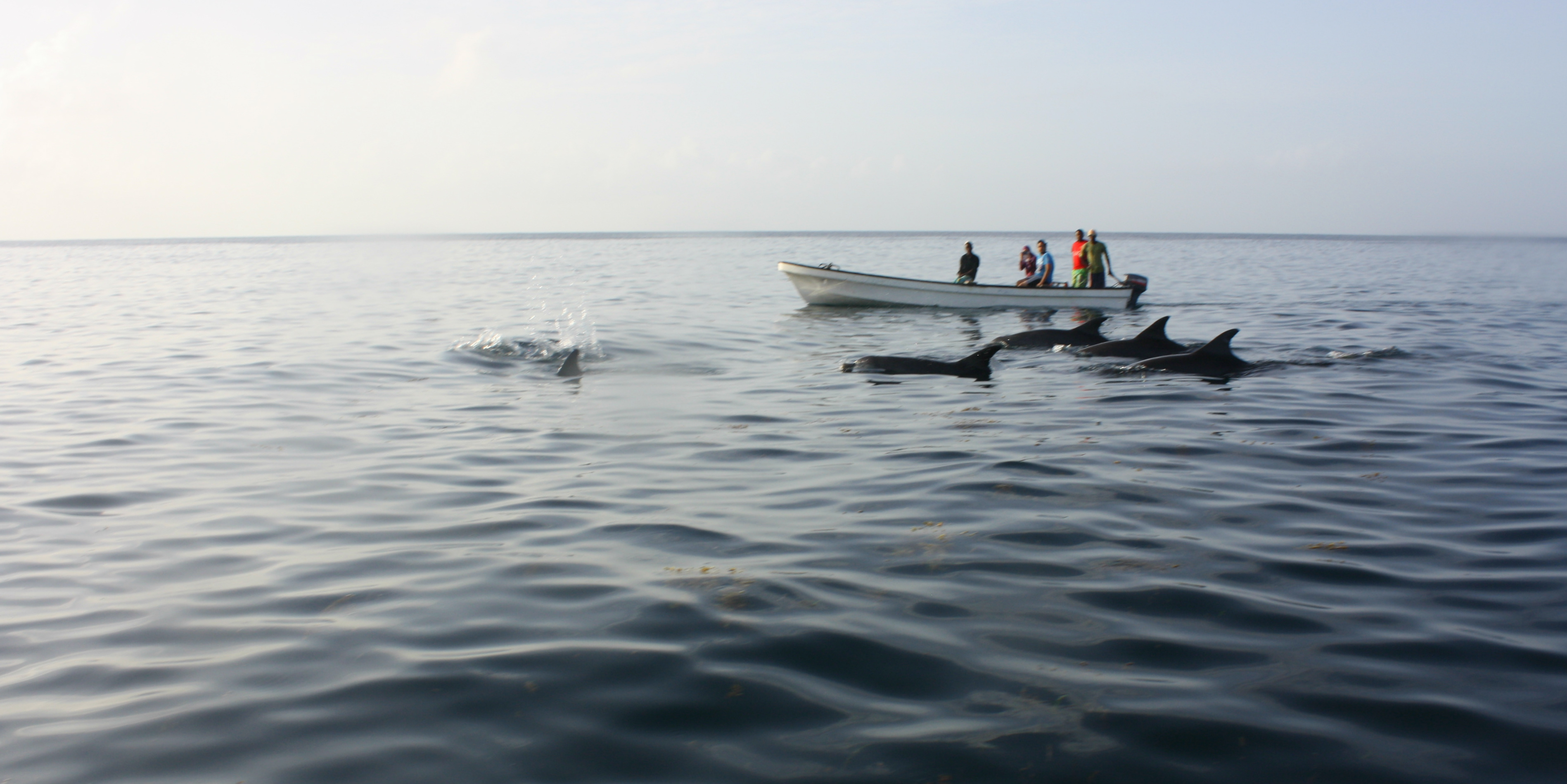 While on an animal volunteer vacation in Zanzibar, you could help to collect data on dophin like these.