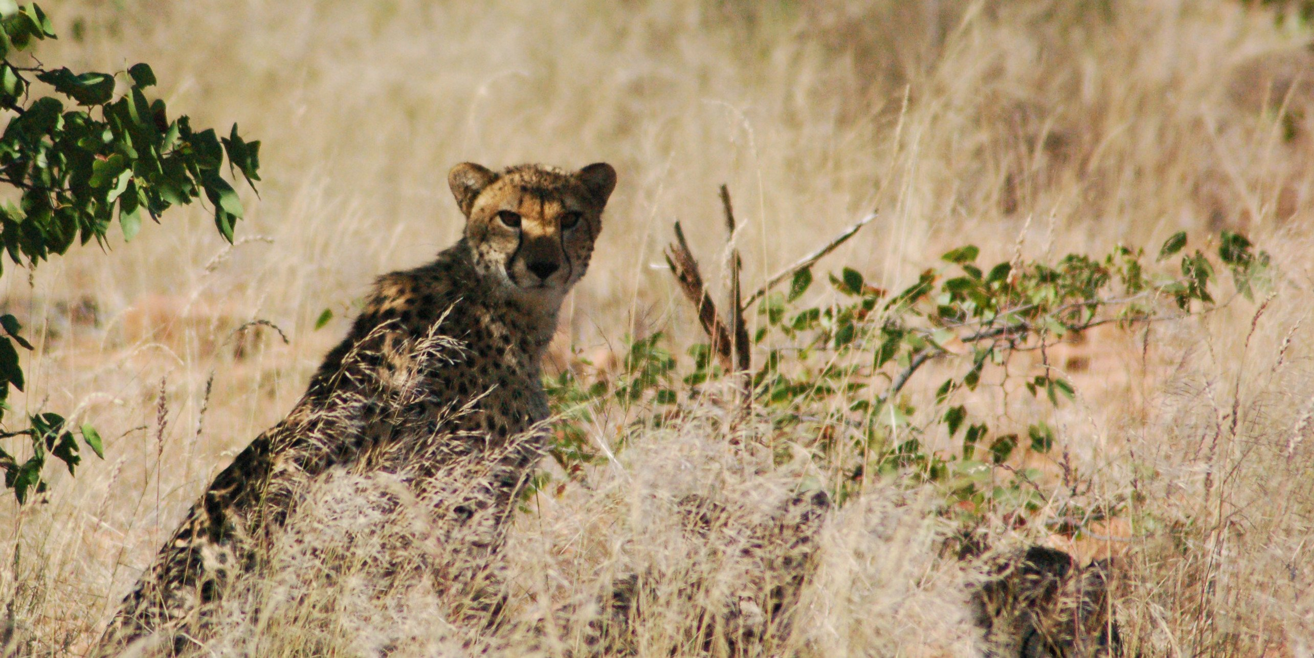 A cheetah spends some time in the cool shade. Cheetah conservation volunteers will record the cheetah's behaviour, as part of their conservation volunteering program.