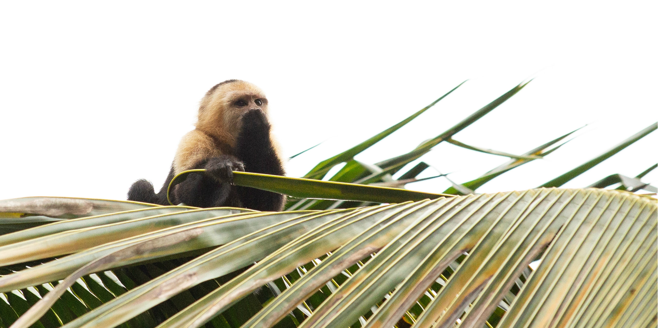 This monkey is one of the many species of animal GVI volunteers might encounter while volunteering in Costa Rica.