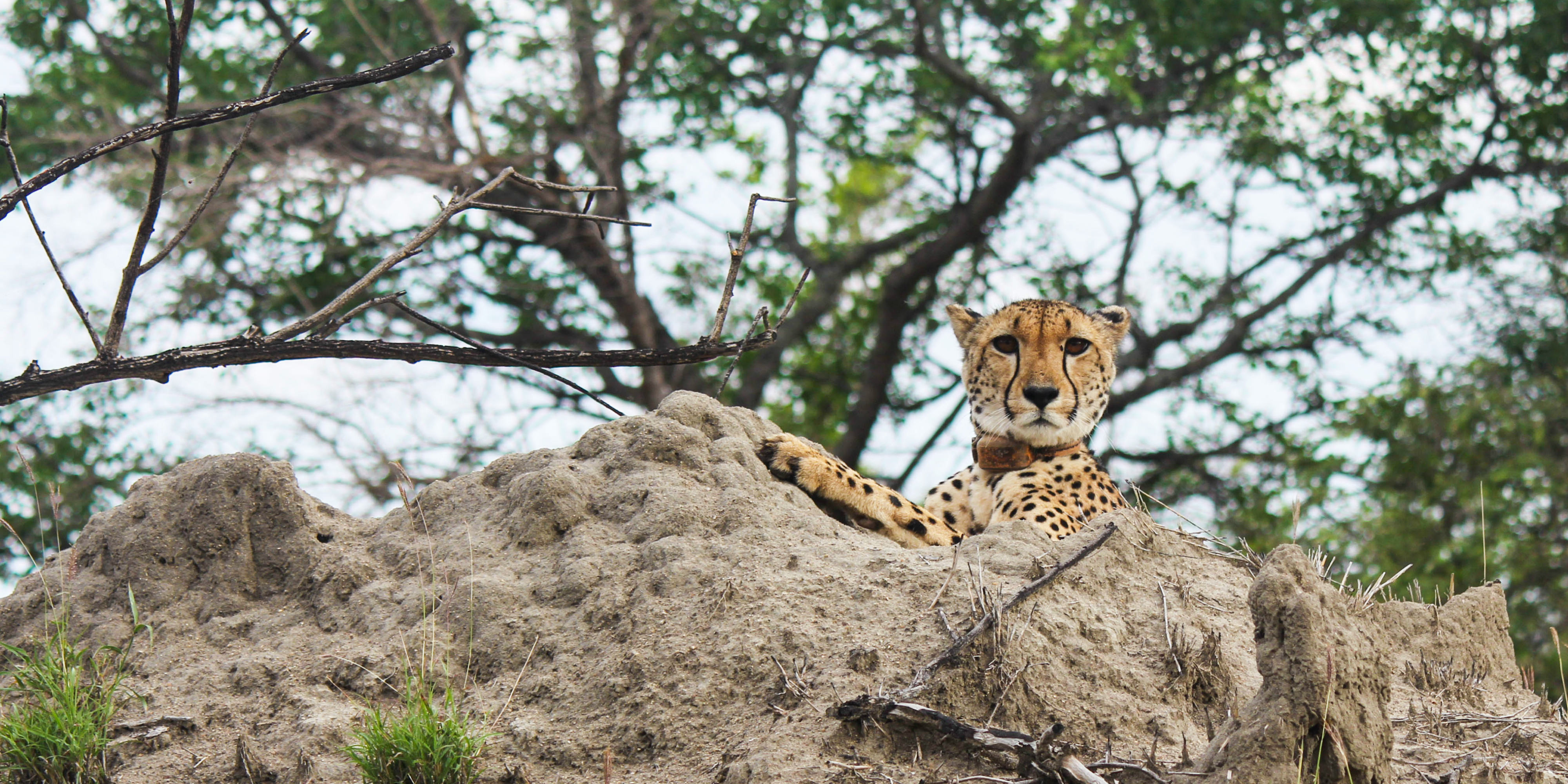 A female cheetah rests on a rock, observed by cheetah conservation volunteers.