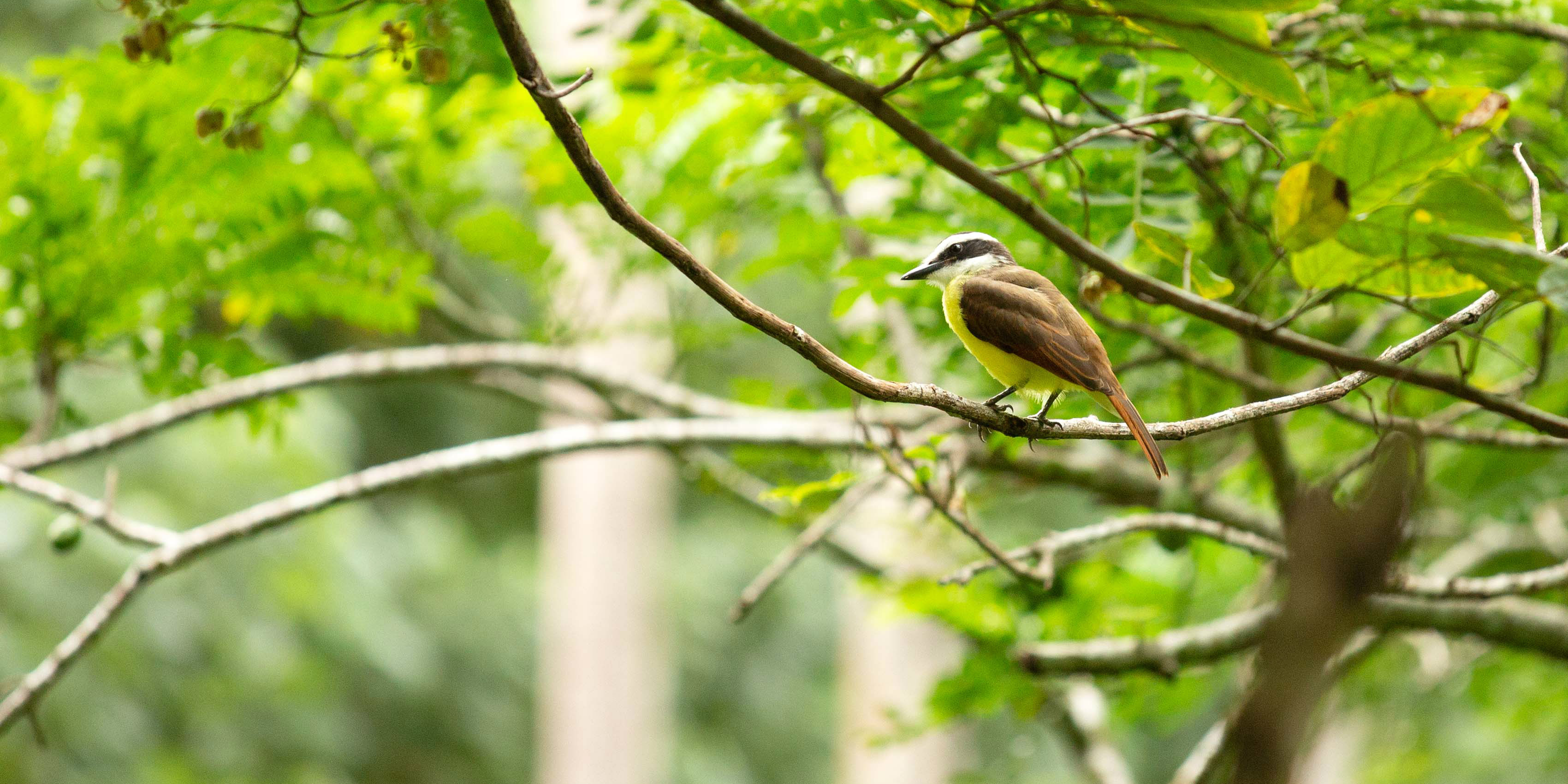 A bird perches on a branch in Costa Rica. While volunteering in Jalova, GVI participants might help to record data on the biodiversity in the area.