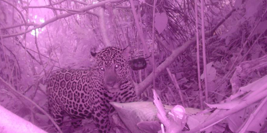 A GVI camera trap captures an image of the elusive jaguar in Costa Rica.