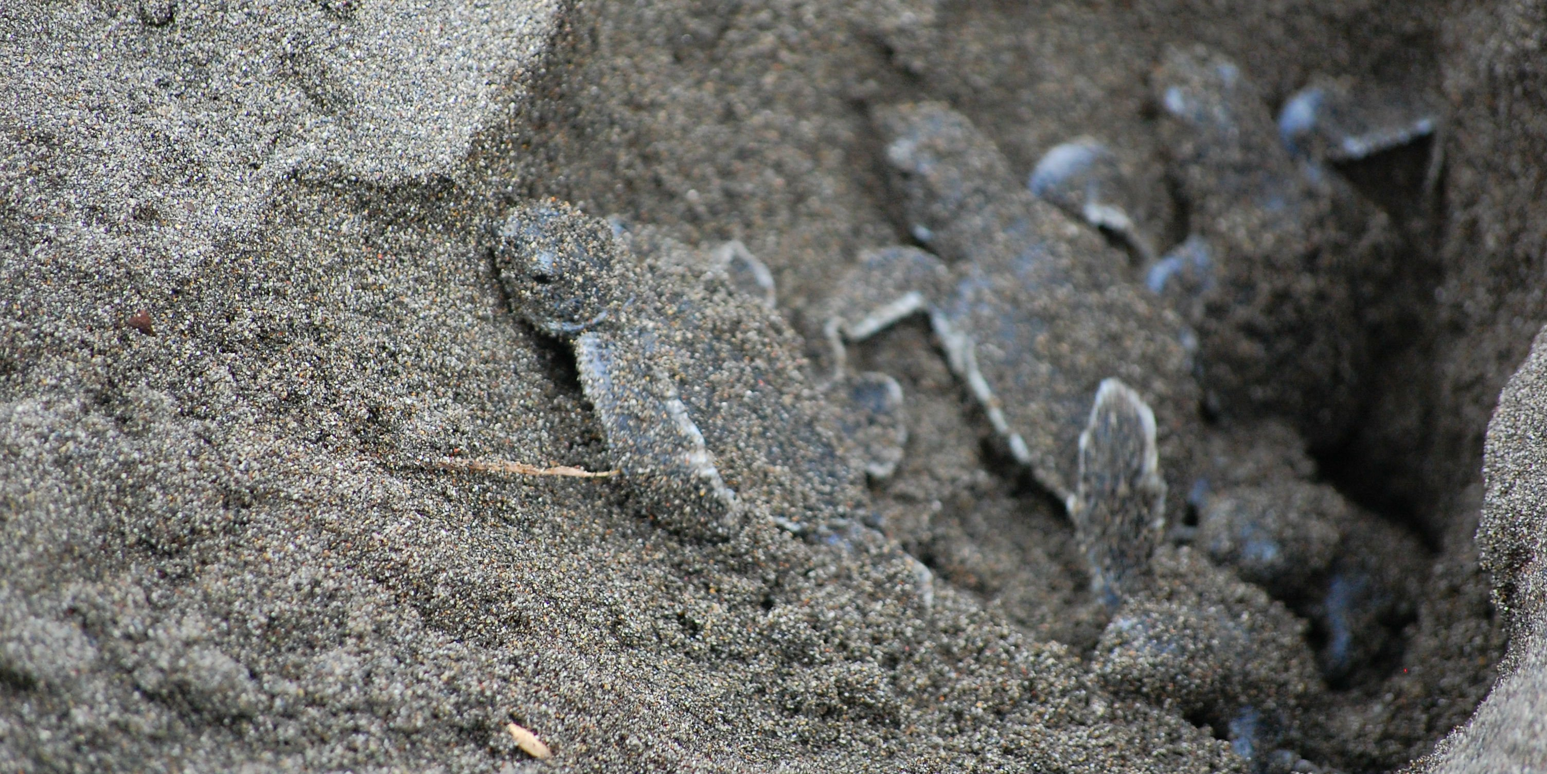 Sea turtle hatchlings climb out of their nest in Costa Rica. Sea turtle conservation volunteers will monitor their progress.