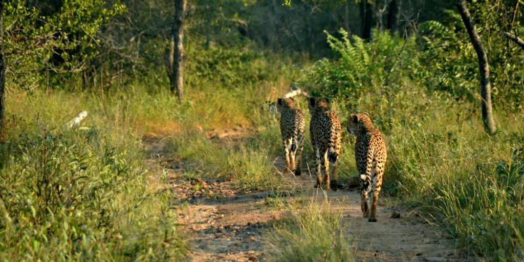 Data collection and tracking of Cheetahs is priceless experience for any volunteer wishing to pursue wildlife conservation.