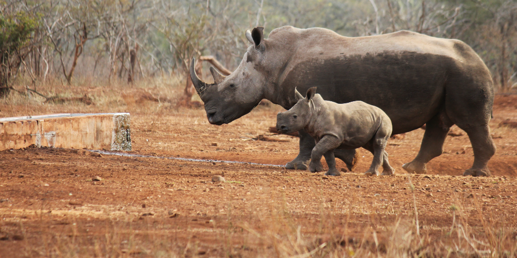 Help with the conservation of rhino when you volunteer in South Africa