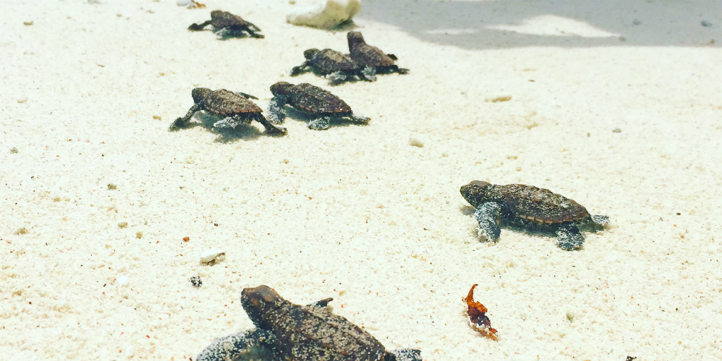 Sea turtle hatchlings, crawling across the sand on a beach in Curieuse, Seychelles.
