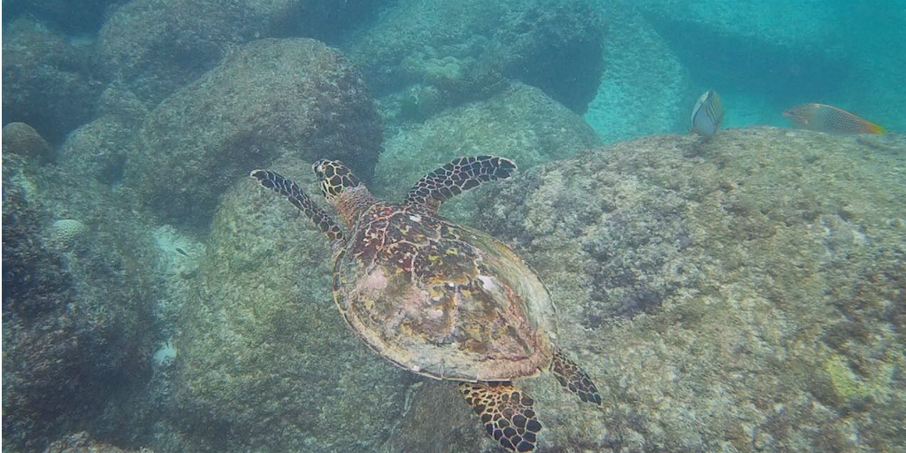 A sea turtle swimming amongst rocks in Curieuse, Seychelles.