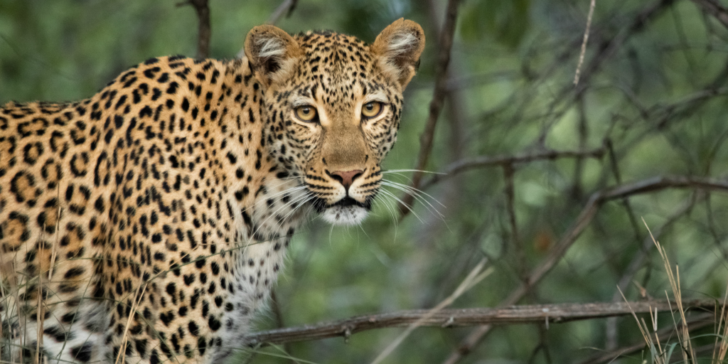 Leopards are some of the most beautiful animals found in Africa