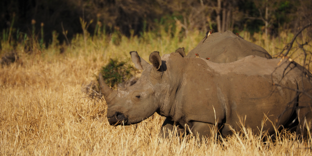 Your donations help protect rhinos from poachers