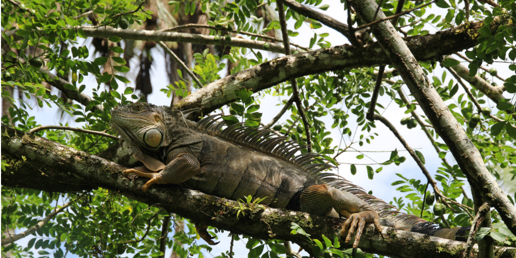 An iguana perched in a treetop.