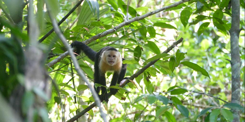 A cappuchin monkey moving through a treetop.