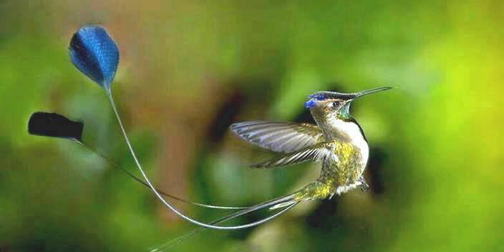 The marvellous spatuletail has earned its name for its unique look.