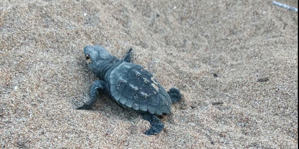 Protect loggerhead sea turtle eggs by volunteering in Greece.