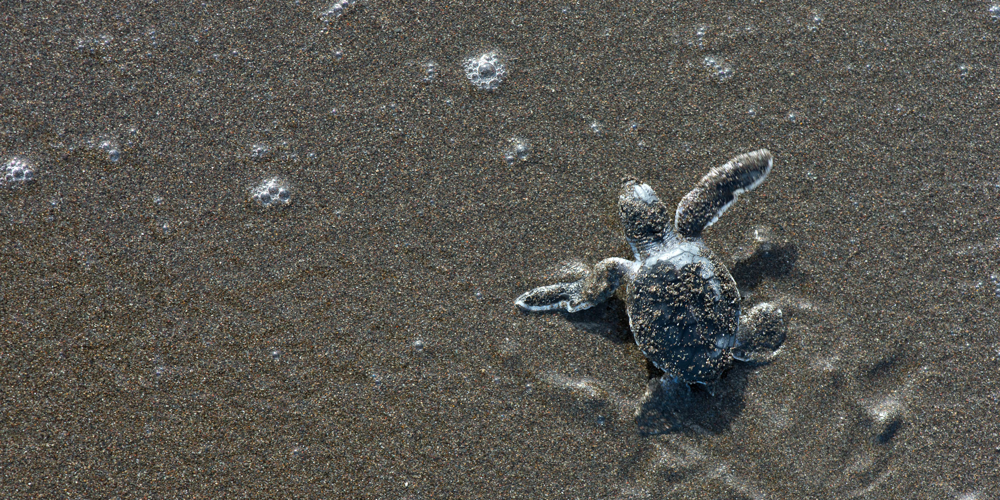 a green sea turtle hatchling makes its way to the ocean