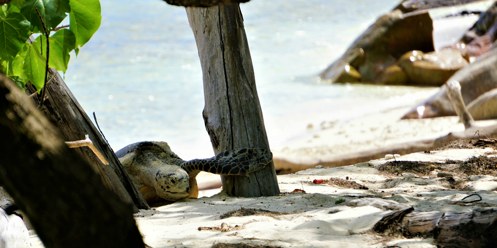 Add to sustainable development efforts by joining a sea turtle conservation program.