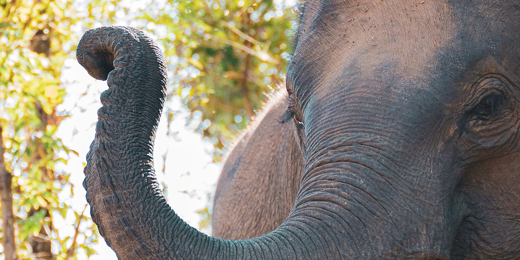 Close up of an Asian elephants trunk