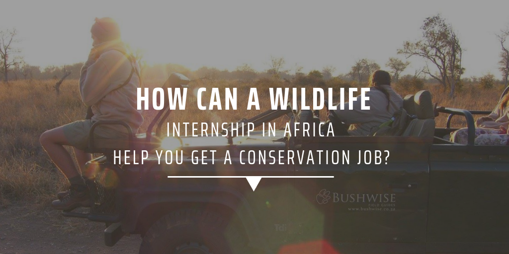 How can a wildlife internship in Africa help you get a conservation job